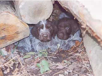 puppies in wood pile